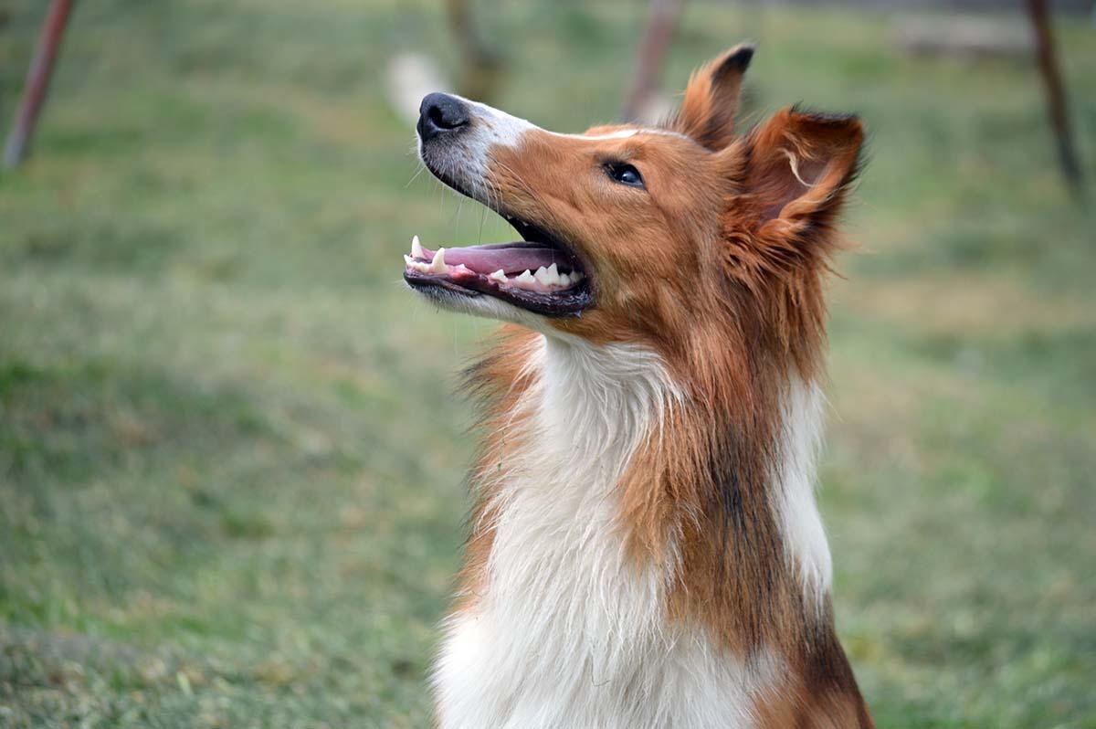 Koiran Muisti