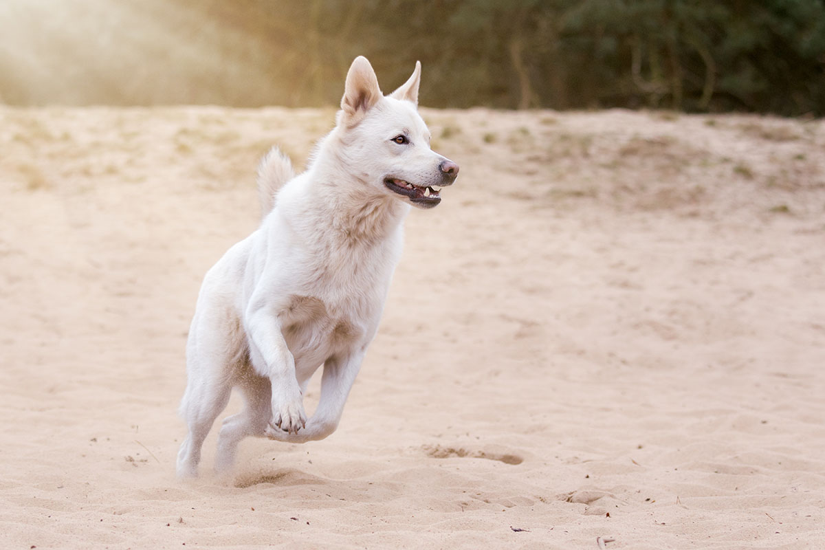 Koiran Kipu Oireet