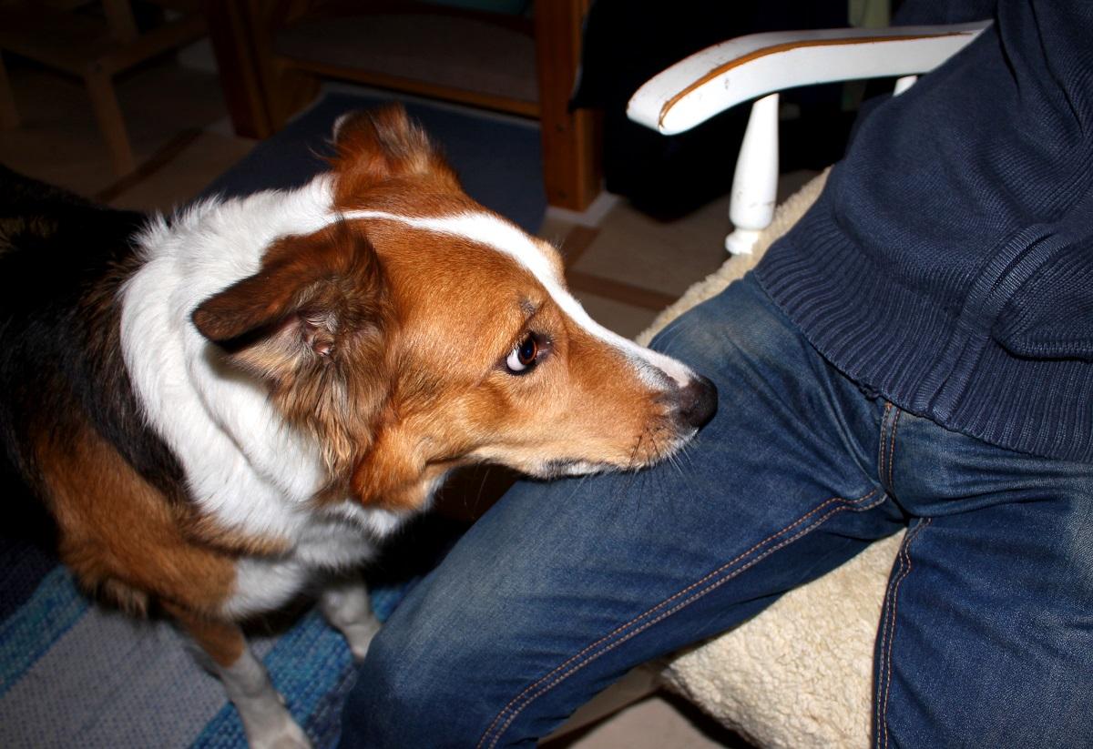 Koira opetetaan ilmaisemaan verensokerin muutokset yleensä tökkimällä ihmistä kuonolla.