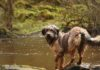 retkeily_koiran_kanssa_chatelherault_country_park_3