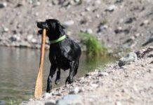 vesipelastus_vepe_labradorinnoutaja