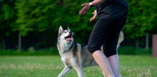 Koiran tulkinta koostuu useasta eri tekijästä. Kuvassa koira katselee omistajaansa kesken harjoitusten.