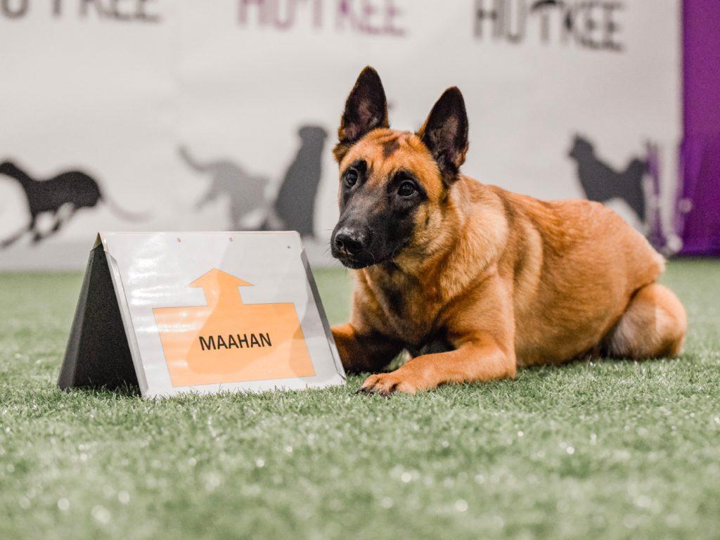 Maahan-tehtävässä koira saattaa mennä maahan istumisen kautta. Rally-tokon säännöt kieltävät tämän.
