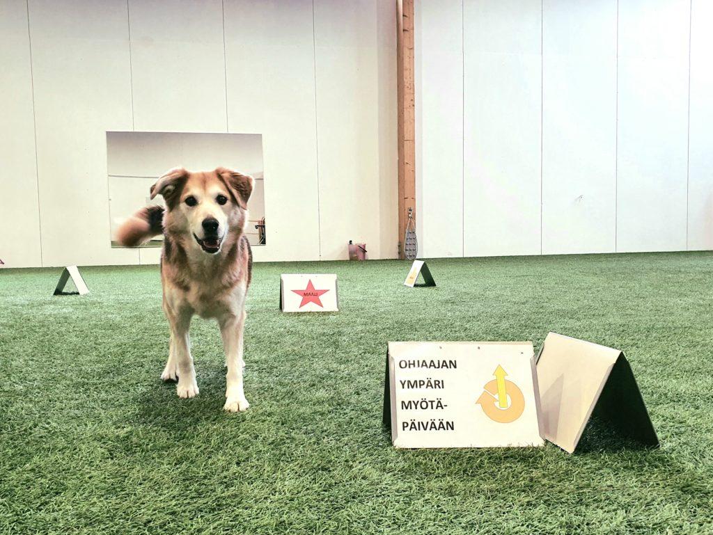 Rally-toko yhdistää agilityn, koiratanssin ja tokon elementtejä. Kuvassa koira rally-tokon harjoituksissa.