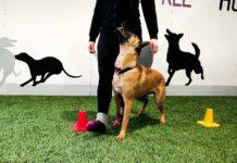 Koira ja omistaja rally-tokon harjoituksissa.