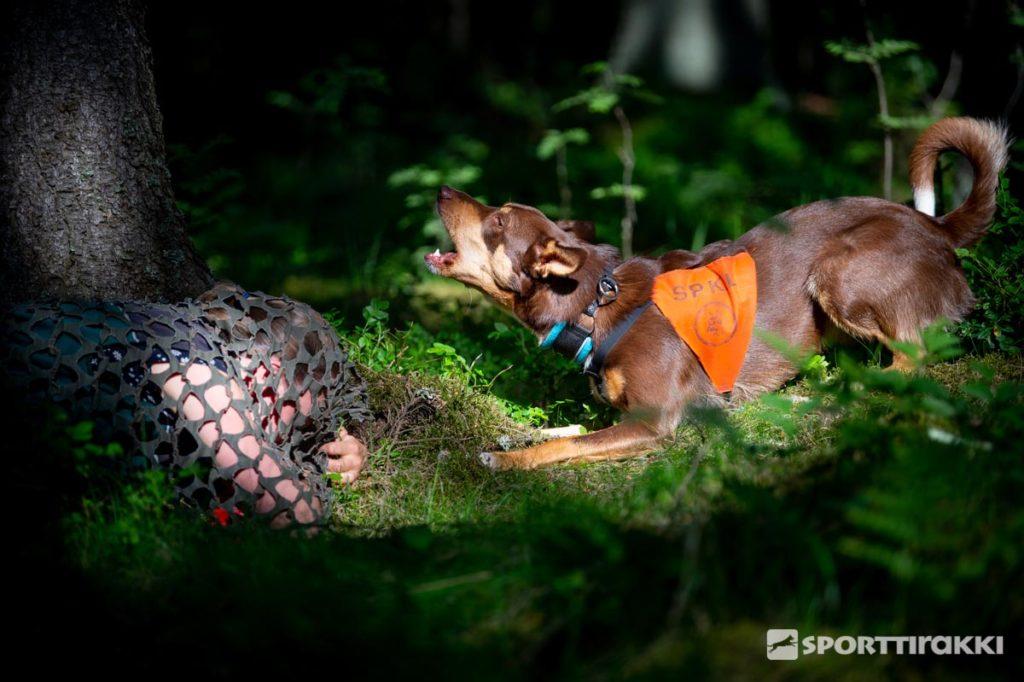 Haukkuen ilmaisevan koiran hallinnan koulutus sisältää paljon häiriönsietoa.